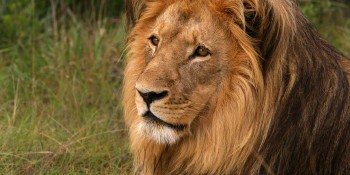 Last living lion at Lohi Bher Park breathes its last